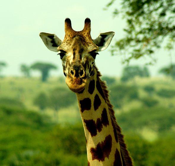 giraffeclose